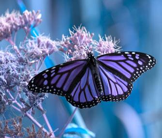 Purple-butterfly-Thinkstock-97503533-335lc052213.jpg